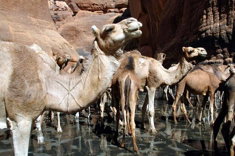 The Guelta d'Archei is probably the most famous guelta in the Sahara. It is located in the Ennedi Plateau, in north-eastern Chad, south-east of the town of Fada. The Guelta d'Archei is inhabited by several kinds of animals, most notably the Nile crocodile