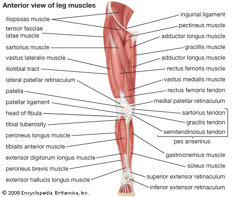Leg Muscles Labeled 107