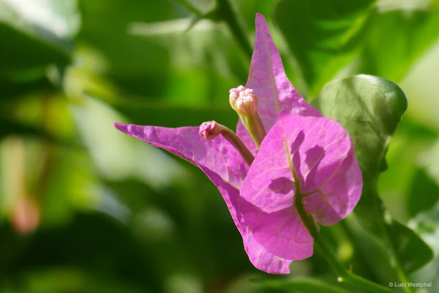 Probably my favorite backyard surprise: Bougainvillea.