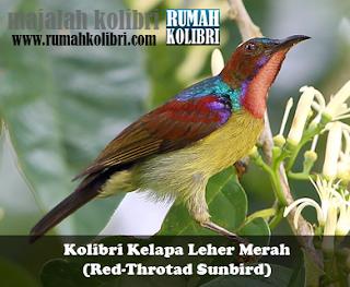 suara burung kolibri kelapa manggar