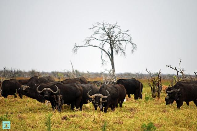 Búfalos en Dizhana, Botswana
