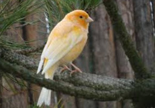 Asal Mula Dan Habitat Burung Canary