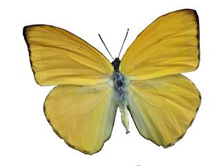 Phoebis argante - Papilio argante