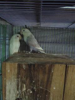 Lovebird mengeram sering keluar glodok