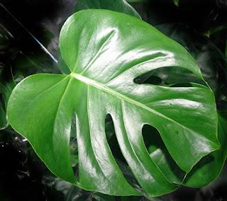 Monstera, Vindusblad, med store hull i bladene