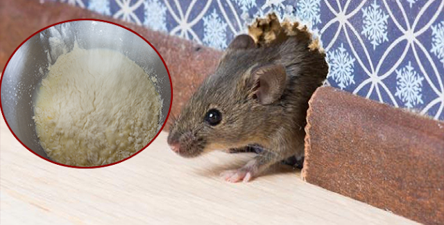 طريقة التخلص من الفئران عن طريق وصفة الدقيق