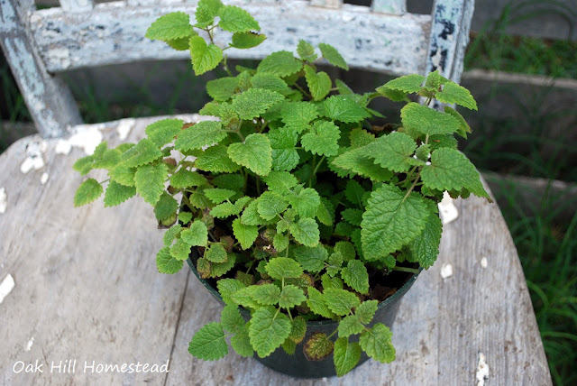5 ways to use lemon balm
