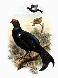Gallo lira caucásico: Lyrurus mlokosiewiczi