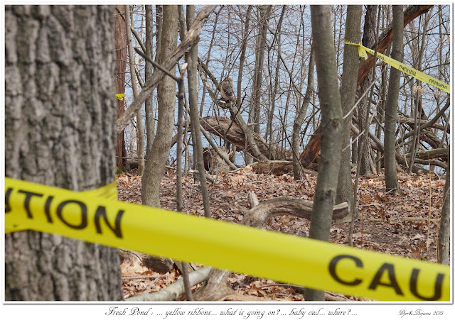 Fresh Pond: ... yellow ribbons... what is going on?... baby owl... where?...