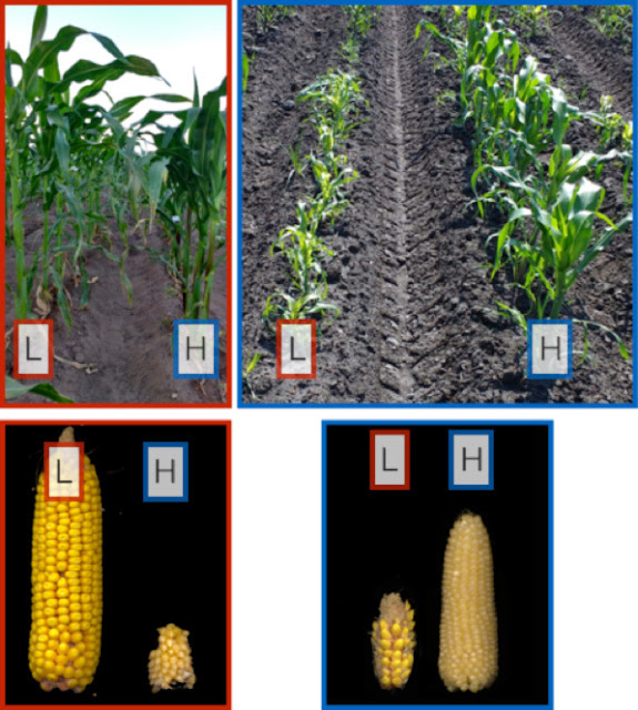 Study to track how corn adapted to different elevations, environments across the Americas