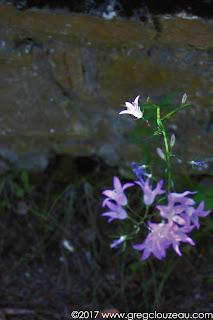 Campanule raiponce (Campanula rapunculus), Fontainebleau.