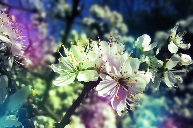 obrázek květoucího třešně, třešňová větev