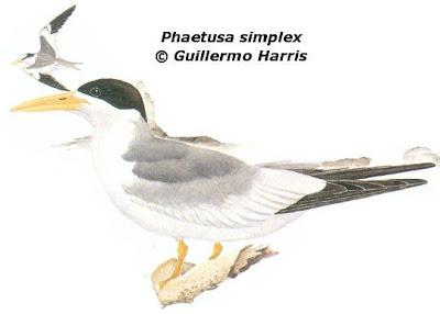 Charrán picudo Phaetusa simplex