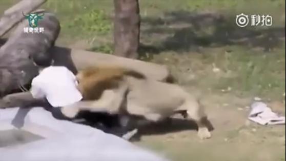 Jatuh ke Kandang, Pria Ini Hadapi Singa dengan Sangat Tenang