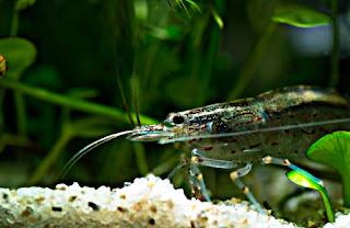 Algae Eater untuk Aquascape Udang Amano