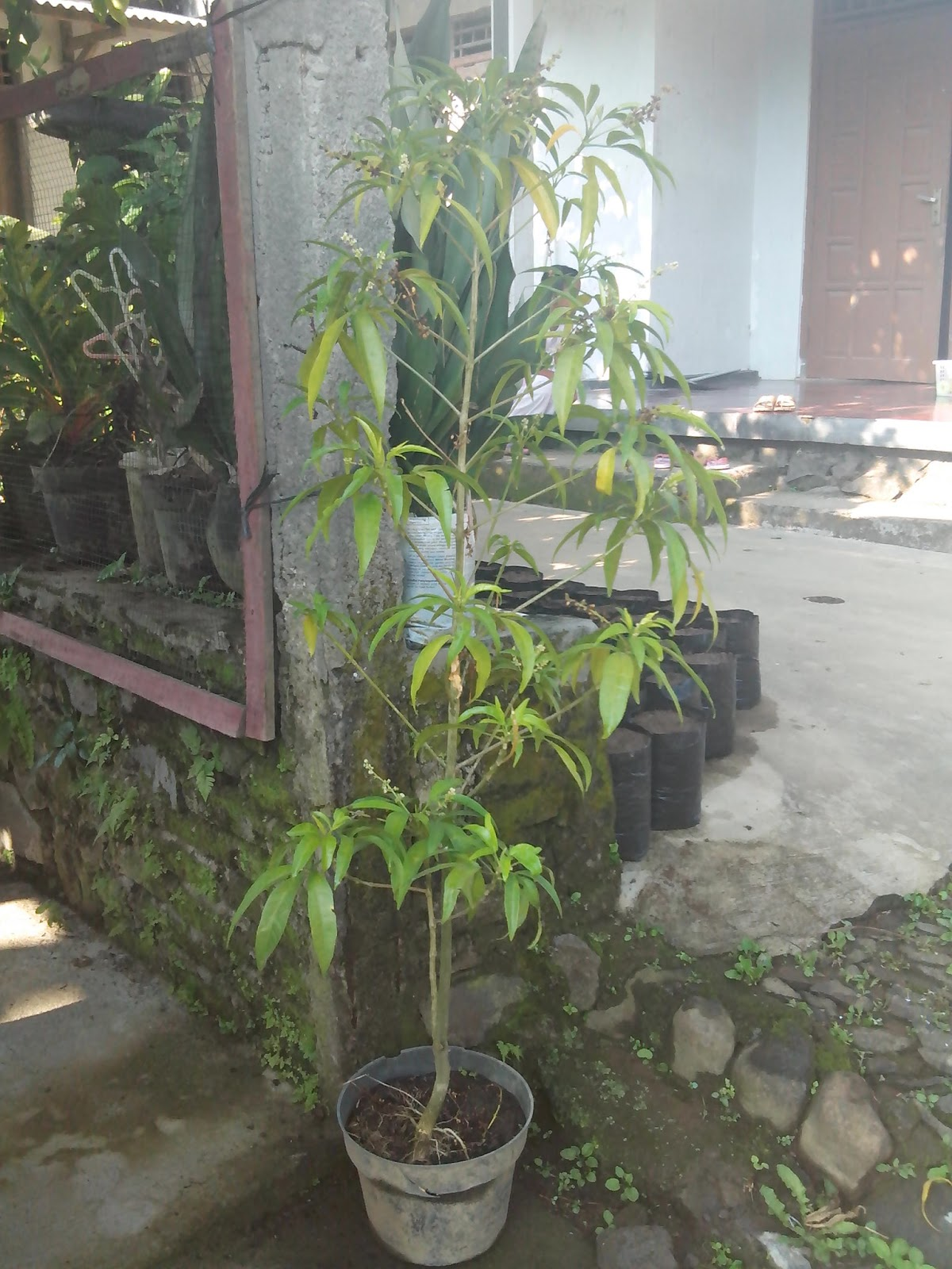 tanaman anti nyamuk zodia