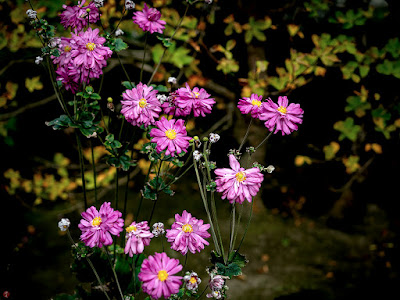 Shumeigiku (Anemone hupehensis var. japonica) flowers: Kaizo-ji