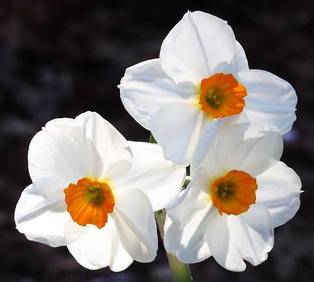 white daffodils in flower