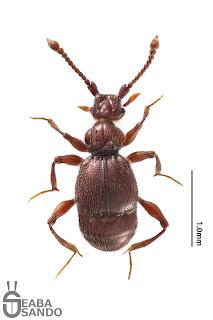 ヒゲブトムネトゲアリヅカムシ属の1種