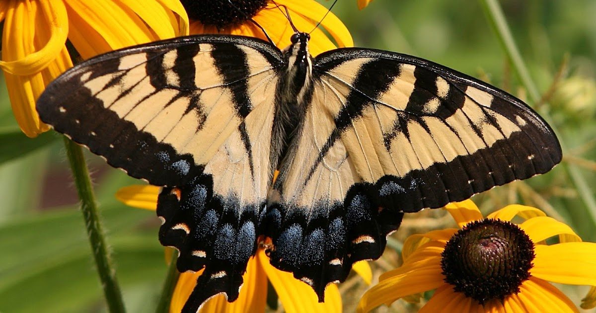 Picture Of Butterfly Sitting On Yellow Flower Hd Animals