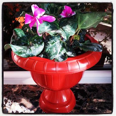 Despre minunatele flori ce ne cuceresc cu parfumul lor imbietor si floricelele lor viu colorate