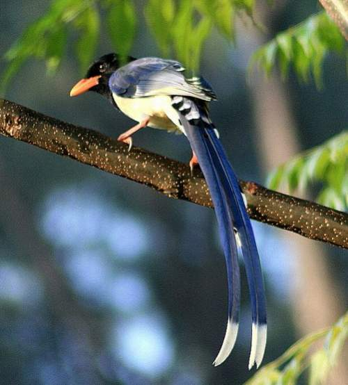 Indian birds - Photo of Yellow-billed blue magpie - Urocissa flavirostris