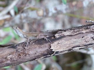 Photos de lézards de Cuba avec une crête sur la queue