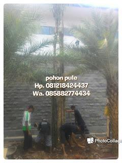 Tukang Taman murah menjual pohon peneduh pule dengan berbagai ukuran Batang besar dan kecil bebas ongkos kirim harga bersaing