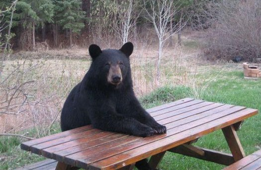 Funny American Black Bear Pictures | Funny Animals |Funny Black Bear Family