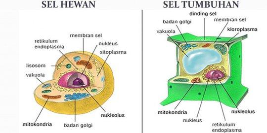 gambar sel hewan dan sel tumbuhan beserta keterangan setiap organelnya