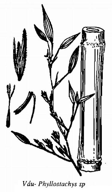 Hình vẽ Vầu- Phyllostachys sp - Nguyên liệu làm thuốc Chữa Cảm Sốt