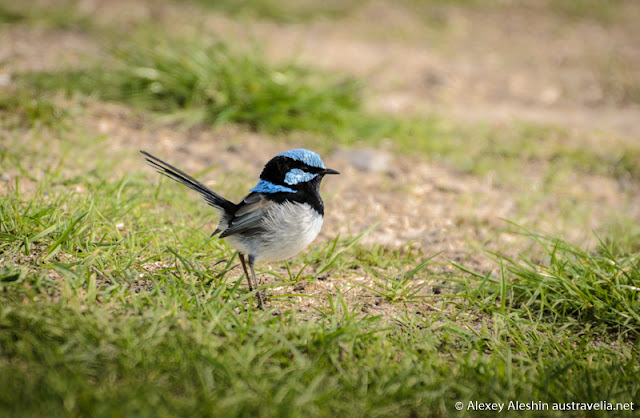A fancy Blue Wren was the most patient model among a variety of local birds at Lake Monibeong