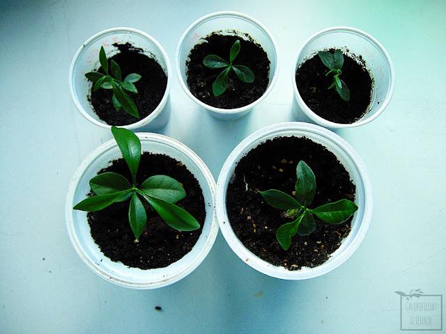 Kumkwat z nasiona,  kumkwat z pestki, jak wysiać kumkwata z nasion, fortunella, citrus japonica rozmnażanie, kiełkowanie, siew, rozwój od nasionka