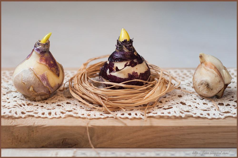 луковицы гиацинтов,