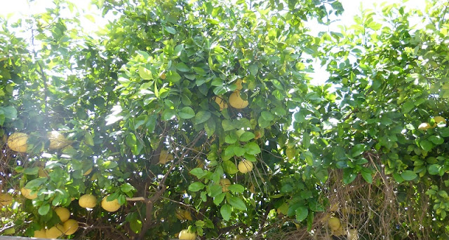 grapefruit canopy