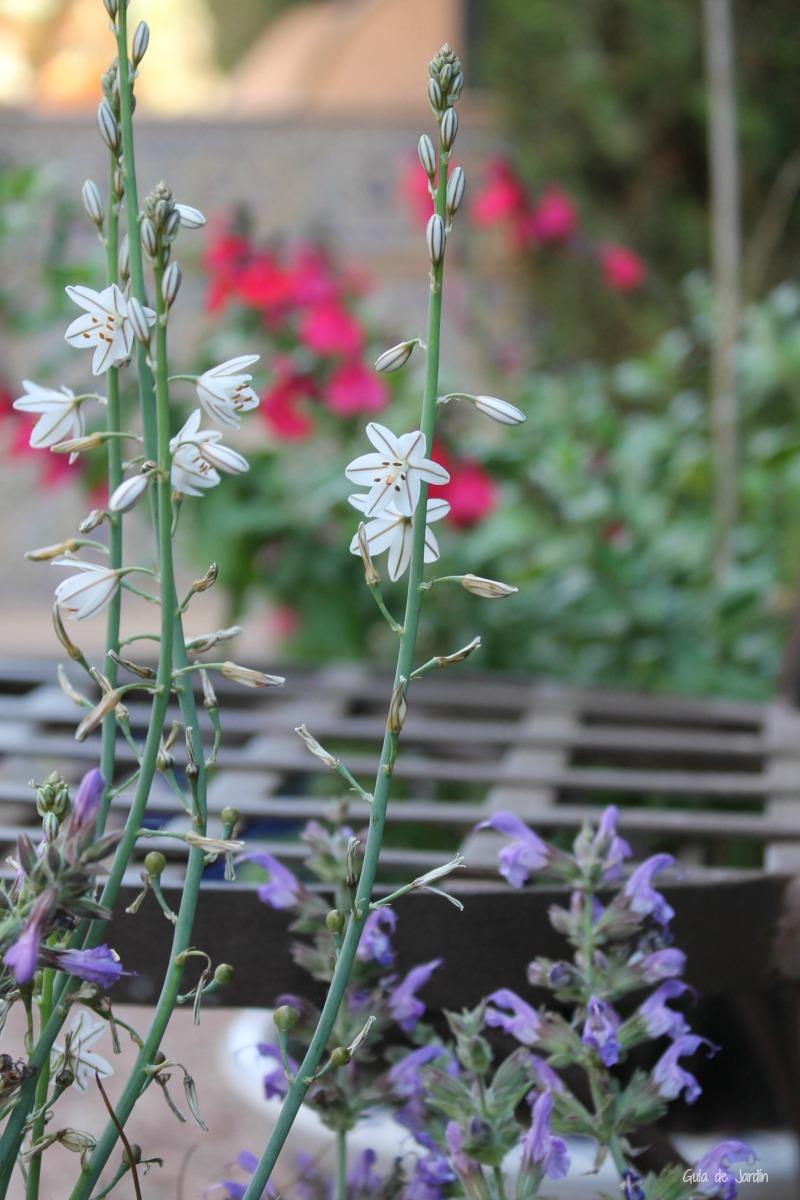 Flores de Asphodelus silvestre