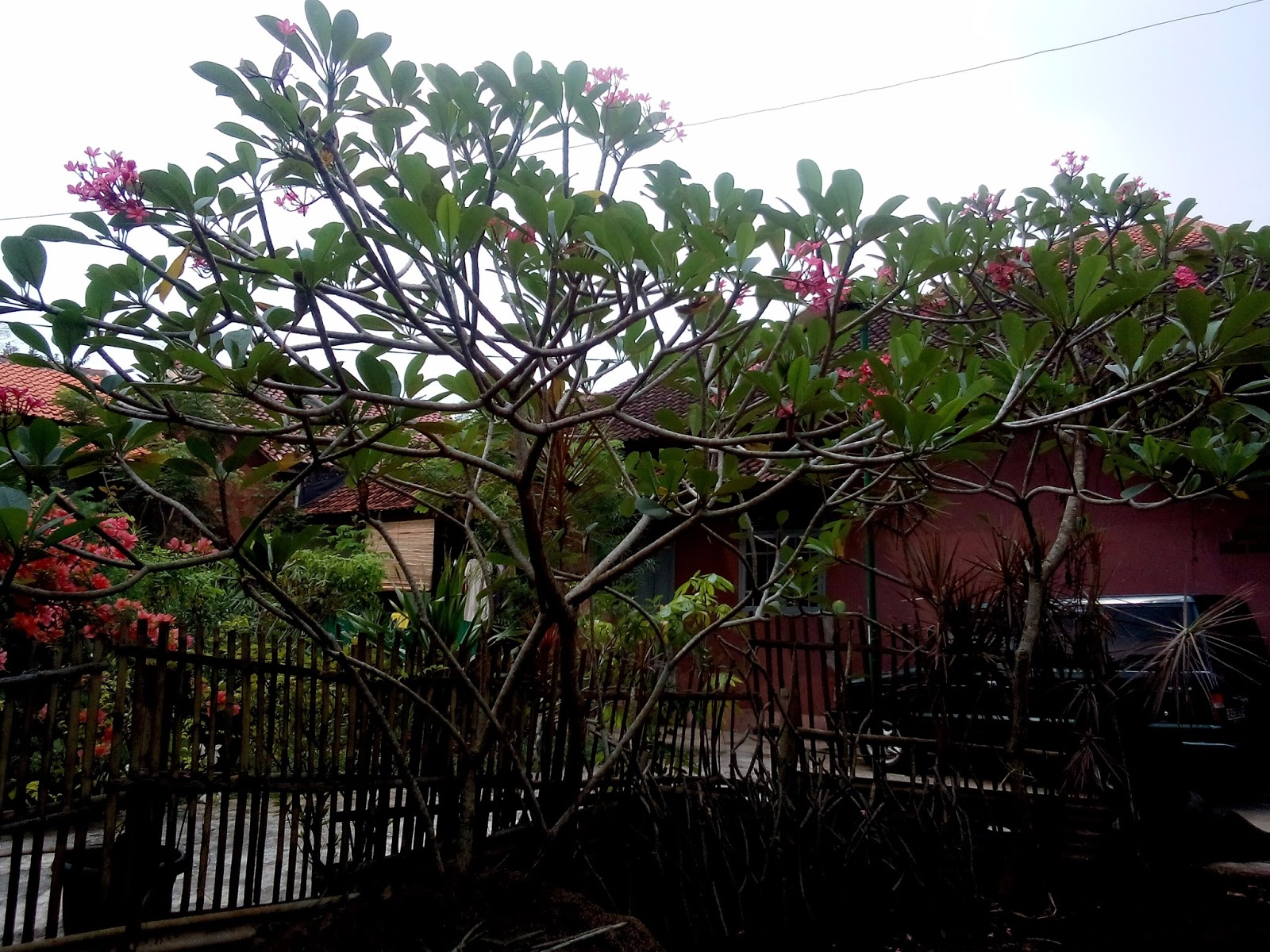 Kamboja Bali Jual Pohon Kamboja Murah Kamboja Bunga