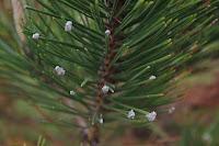 Ochojnik sosnowy (Pineus pini)