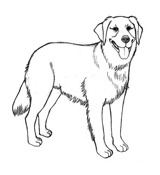 Pencil sketches and drawings: How to Draw a Golden Retriever