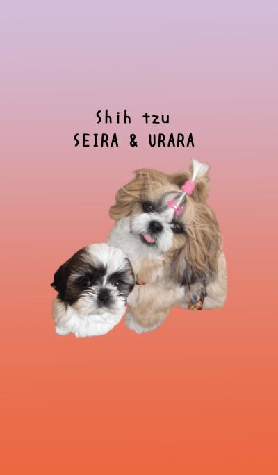 Shih tzu SEIRA & URARA