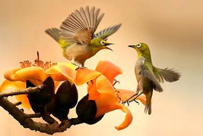 Suara Burung Pleci