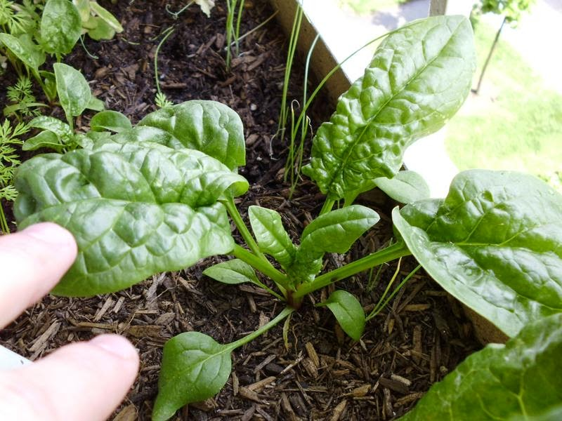 Spinach 4 weeks old