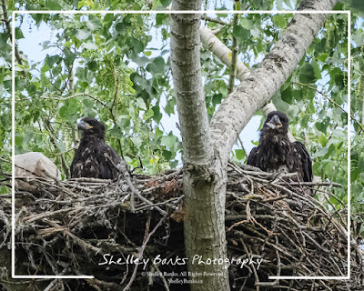 Two Juvenile Bald Eagles  © Shelley Banks, All Rights Reserved.