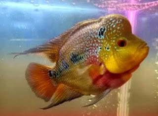 Gambar kontes Ikan louhan rainbow king