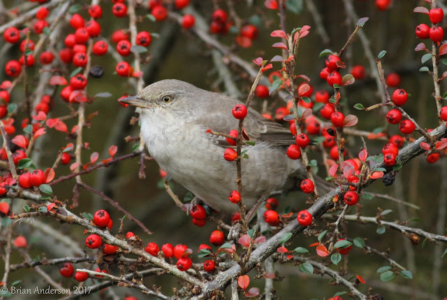Barred Warbler at Titchfield Haven