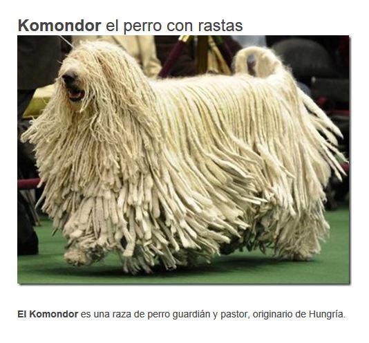 komondor el perro que lleva rastas