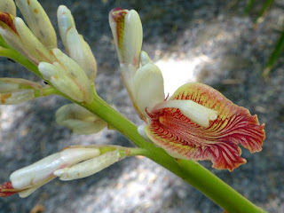 Zingibéracées observées à la Réunion