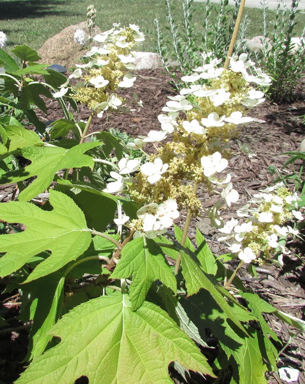 Oakleaf hydrangea an easy to care for shrub