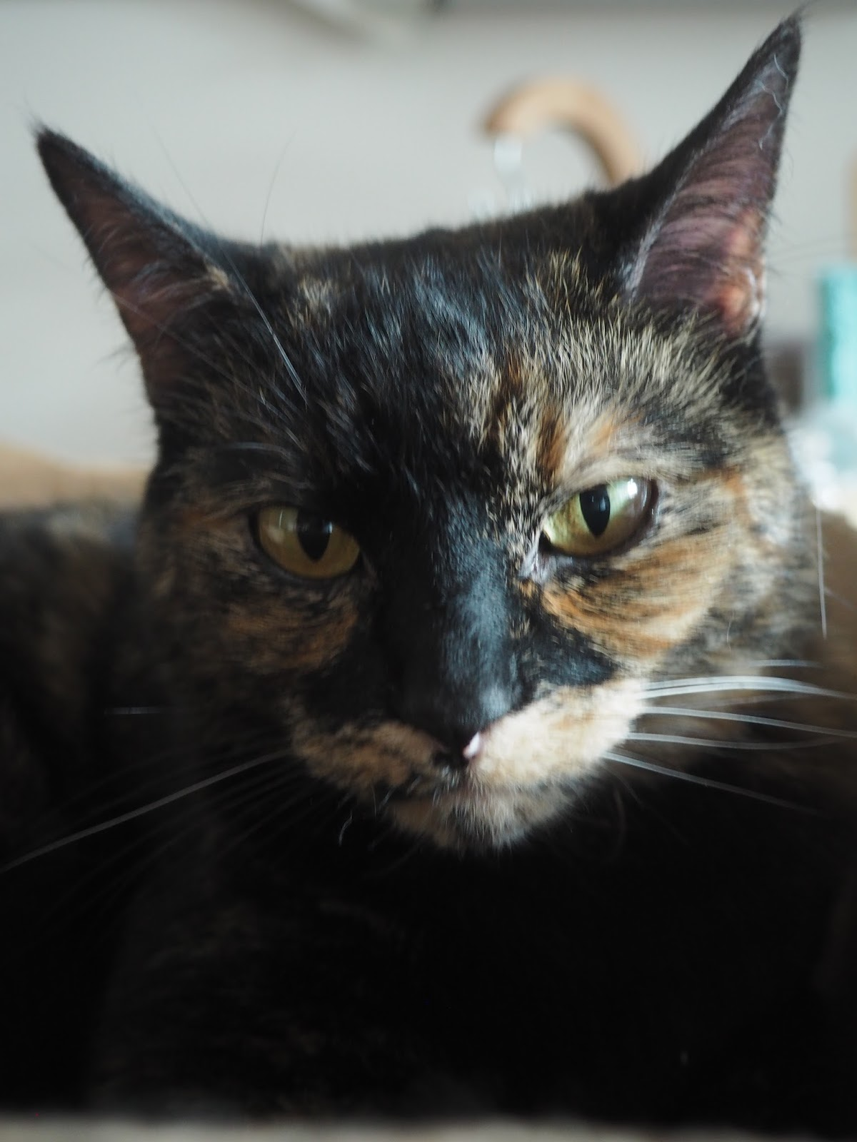 Close up tortoiseshell cat face