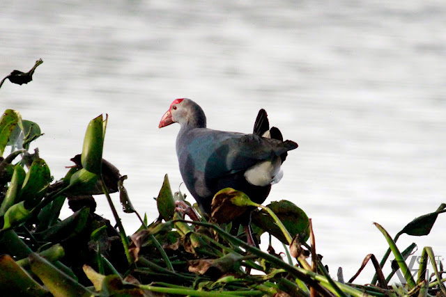 Purple Swamphen(38–50 cm) - Mysuru